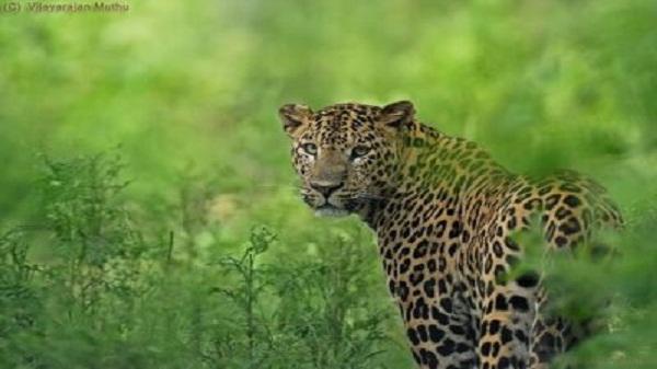 Leopard spotted in ahmedabad: अहमदाबाद में फिर दिखाई दिया तेंदुआ, दशहत का माहौल